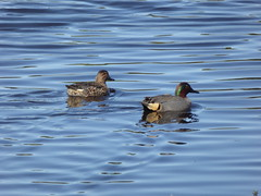 Pair of Green-Winged Teals (Philosopher Queen) Tags: birds pair teals greenwingedteals galveston texas lafittescove