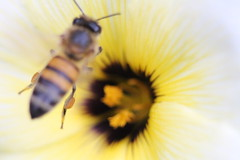 holiday eve (Rodrigo Alceu Dispor) Tags: eve holiday flower macro work insect bee pollen
