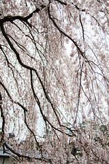 像瀑布一樣的櫻花 (ilin Huang) Tags: 日本 2014 京都御苑 京都市 京都府 京阪神親子七日遊
