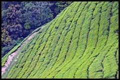 Munnar :  Steep Tea Slopes @ Top Station (indianature13) Tags: india mountain lake nature tea kerala april westernghats munnar 2015 topstation kundalalake madupettylake indianature sholaforest highranges