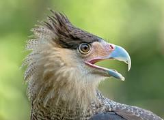Caracara (marypink) Tags: eye closeup focus bokeh details predator birdofprey caracara rapace falconidae 70300mmf456 oasisantalessio nikond7200