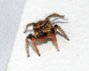 Male Jumping Spider (feathersong1) Tags: malejumpingspider