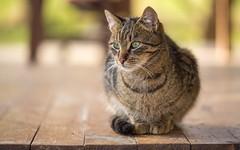 kittens (31) (Vlado Ferenčić) Tags: cats catsdogs animals animalplanet kitty kittens closeup zagorje hrvatska croatia hrvatskozagorje nikond600 sigma15028macro