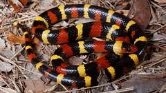 Scarlet Kingsnake (Lampropeltis elapsoides) (Ian Deery) Tags: scarlet kingsnake king red yellow black lampro lampropeltis elapsoides triangulum snake herp herping florida ian deery sony a55