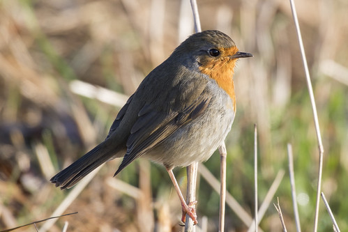 (010) Bird - Robin - Beside The Waveney At Castle Marshes