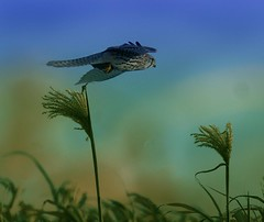 . . . booty flight (hardy-gjK) Tags: birds prey greifvogel falke kestrel raptor animals tiere hardy nikon nature wildlife