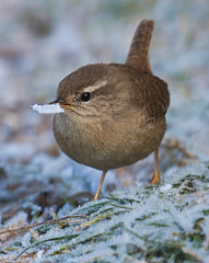 Frosty Wren breakfast (tobyhoulton) Tags: wren frost winter toby houlton nikon d500 eating food feeding cold frozen