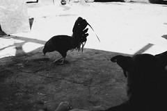 Gallo de pelea (SeñorNT) Tags: gallo dog chicken shade blackandwhite dirt ranch