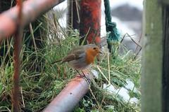 a wee robin................. (Suzie Noble) Tags: robin bird gardenbird gate strathglass struy