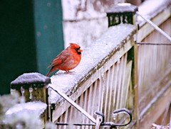 Mr Cardinal's icy perch (karma (Karen)) Tags: baltimore maryland home backyard fences birds cardinals dof bokeh icestorm fencefridays hff 4winter topf25 cmwd