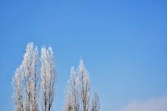 DSC_0358 (paan.C) Tags: tree sunny winter sky backround blue snow