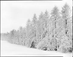 Kellberg (Stefan K0n@th) Tags: nikonnikkorw180mmf56 chamonix045f1 fomapanclassic100 snow kodakxtol11 4x5 epsonv750pro whitefrost hoarfrost winter monochrome outdoor blackandwhite clearing larch simplicity 20minutesfromhome