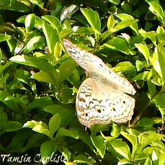 Grey Pansy (tinlight7) Tags: butterfly insect grey greypansy vietnam hanoi taxonomy:kingdom=animalia animalia taxonomy:phylum=arthropoda arthropoda taxonomy:subphylum=hexapoda hexapoda taxonomy:class=insecta insecta taxonomy:subclass=pterygota pterygota taxonomy:order=lepidoptera lepidoptera taxonomy:superfamily=papilionoidea papilionoidea taxonomy:family=nymphalidae nymphalidae taxonomy:subfamily=nymphalinae nymphalinae taxonomy:tribe=junoniini junoniini taxonomy:genus=junonia junonia taxonomy:species=atlites taxonomy:binomial=junoniaatlites junoniaatlites mariposaojosdevenadogris taxonomy:common=greypansy taxonomy:common=mariposaojosdevenadogris