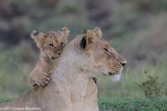 You can play on your Mom.... (Duncan Blackburn) Tags: 2017 big5 cat kenya masaimara lion mammal nikon nature wildlife ngc