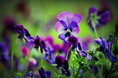 IMG_1160 Violas from paradise (Rodolfo Frino) Tags: flora plants viola violet green flowers flores bright field digital natural nature natur naturaleza art artistic artwork eos flower colorful colourful purple depthoffield