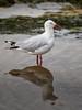 Silver Gulls (Chroicocephalus (Larus) novaehollandiae) (Arturo Nahum) Tags: australia aves animal arturonahum birdwatcher bird birds silvergullschroicocephaluslarusnovaehollandiae