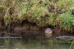 ragondin du matin (rascal76160) Tags: rat riviere ragondin animal