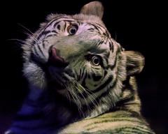Apollo ♂ - Тёмная Ночь (Dark Night) (Belteshazzar (AKA Harimau Kayu)) Tags: apollo tiger zoo animal bigcat bigcats feline bengaltiger pantheratigristigris königstiger indischertiger eltigredebengala tigredubengale latigrerealedelbengala бенгальскийтигр 孟加拉虎 whitetiger weisertiger tigreblanco tigreblancroyal белыйтигр 孟加拉白虎 zooshot tobu tobuzoo snowwhite mirrormirror babytiger baby kid keddo