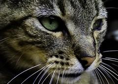Fiercely feline. (OrlandoMunozJr) Tags: canont5 canon t5 cat gato animal animals fur looking eyes feline wild wildlife macro chile mascota salvaje felino nature natural pet outdoors aire libre