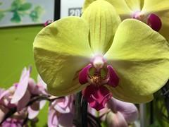 (tabbynera) Tags: orchids