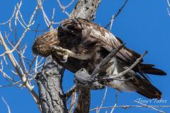 Juvenile Golden Eagle scratches
