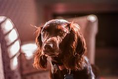 My Puppy Ella (jottol1661) Tags: leica m8 canon 50mm f14 ltm m39 boykin spaniel