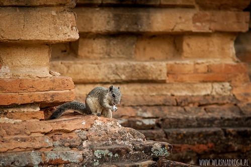Jeden z wielu mieszkańców Bagan