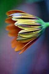 Toward evening (James_D_Images) Tags: flower green water yellow closeup garden droplets petals purple bokeh dusk osteospermum