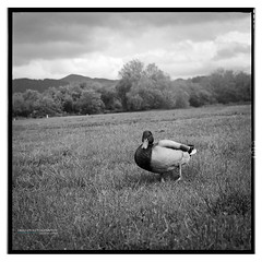 keswick_yashica-29 (D_M_J) Tags: camera blackandwhite white lake black 120 6x6 tlr film monochrome square lens mono duck reflex kodak district lakedistrict twin hc110 mat 400 roll plus epson hp5 medium format ilford yashica keswick v850