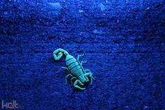 Striped Scorpion at Night (Cold417) Tags: street night glow scorpion blacklight missouri ozarks branson striped mdc