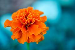 2015-07-16 20-43-06 (Sergey Ryazantsev) Tags: summer orange macro green colors closeup garden petals backyard colorful blossom bokeh bloom softfocus lifeform bud marigold flowersplants