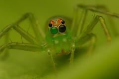 Lyssomanes, female (Salticidae from Venezuela) Tags: macro green eye female bug insect spider eyes venezuela arachnid caracas tiny jumpingspider arthropoda salticidae raynox250 lyssomanes macro100 canon100l macro100l