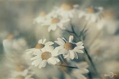 S U M M E R_ F L O W E R S (*Photofreaks*) Tags: park flowers summer essen bokeh sommer blumen ruhr ruhrgebiet blüten grugapark tanacetumparthenium gruga mutterkraut blossims adengs wwwphotofreaksws shopphotofreaksws