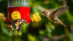 Sharing is Caring (iPhilFlash) Tags: canada bird butterfly hummingbird britishcolumbia feeder richmond wildbirds richmondnaturepark