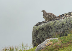 Rock ptarmigan (Hawk_eye_68) Tags: newfoundland summit grosmorne rockptarmigan trip2015
