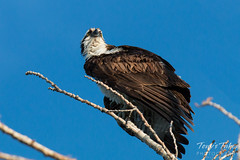 Osprey poses for pictures