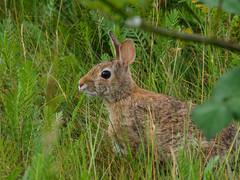 Smith Island rabbit (amitp) Tags: creatures lagomorpha mammals rabbit em1