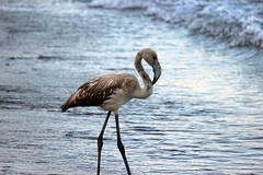 Flamingo (hacky_Am) Tags: turkey flamingo trkiye trkei ufer sahil olimpos