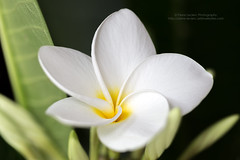 Tropical Plumeria Flower (PIERRE LECLERC PHOTO) Tags: white flower tree floral beauty hawaii plumeria maui lei explore smell tropical frangipani pure odour