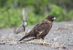 Go Away Kid Ya Bother Me (Heather Valey) Tags: hawk mockingbird harass galápagosislands canonrebelxti galápagoshawk