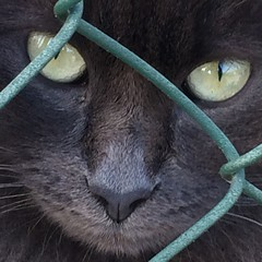 Rudy... Rodolfo Valentino dei gatti (dianasantucci) Tags: pet cats black love nature beautiful animals eyes kitten chat grigio felini mustache gatti pescara iphone
