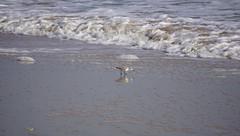 Bolivar Peninsula (Natalie's Negatives) Tags: bolivar beach birds