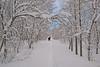 Trudging through the snow (Jenny Thynne) Tags: iceland snow höfði myvatn trees
