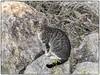 GATO (BLAMANTI) Tags: gatos felinos animales campo silvestres