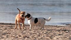 """She's such a bitch!"" (Ali Gardener) Tags: dogs shedogs beach quarrel"