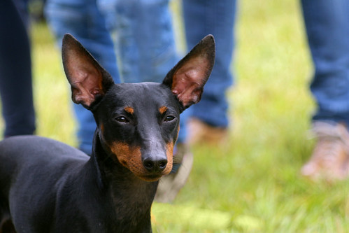 English Toy Terrier or Toy Manchester Terrier at dog show