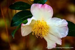 Day Dreamer (T i s d a l e) Tags: tisdale daydreamer camellia camelliasasanqua flower farm autumn fall october 2016 easternnc