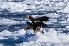 Ohwashi (Haliaeetus pelagic)Ⅱ (Ka-merameha) Tags: eagle eagles bird sea driftice hokkaido awash