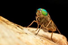 Horse Fly (Tabanidae, Tabaninae) (elisa_vg) Tags: animal arthropoda arthropod fly mutuca artrópode insecta insect inseto bug mosca haxapoda hexapoda hexapod diptera orthorrhapha tabanomorpha tabaninae tabanini nature macro macrophotography canoneosmarkii canon eyes