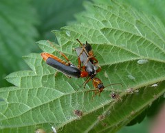 A surprise! (rockwolf) Tags: cantharidae soldierbeetle coleoptera cantharissp insect beetle predatory opportunistic feeding réservedechérine labrenne france 2016 rockwolf